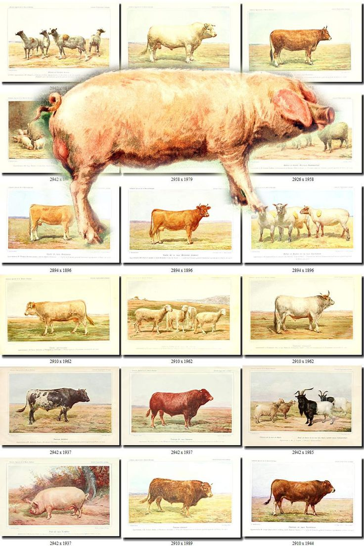 HOOFED CATTLE FARM-2 animals Collection of 113 vintage images Cows Sheep Bulls Home Pet farming High resolution digital download agriculture by ArtVintages on Etsy