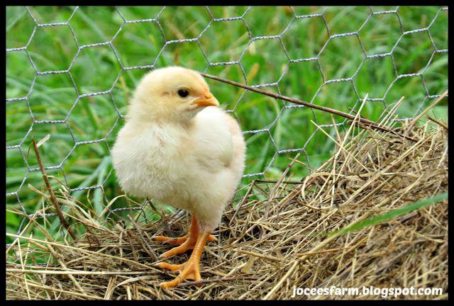 Baby Chicks @ Jocees Farm