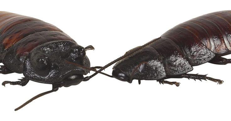 Receta para pasta de bicarbonato de sodio para matar cucarachas. Las cucarachas son una plaga de la cual podemos prescindir. No sólo destruyen tus alacenas pero también tienen la habilidad de ocasionar envenenamiento por alimentos y alergias. Aquellas personas que sufren una infestación de cucarachas serían sabios utilizando un enfoque natural para matar a las cucarachas. Una pasta sencilla de elaborar con ...