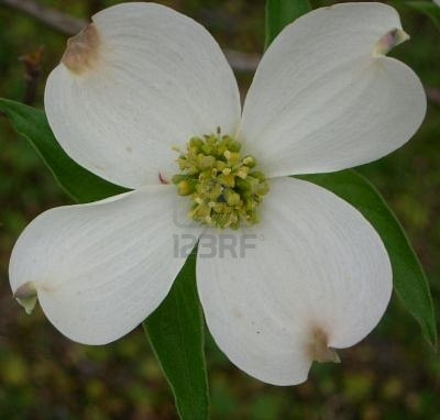 Many S Consider The Flowering Dogwood Showy Cross Like Flowers To Be Religious