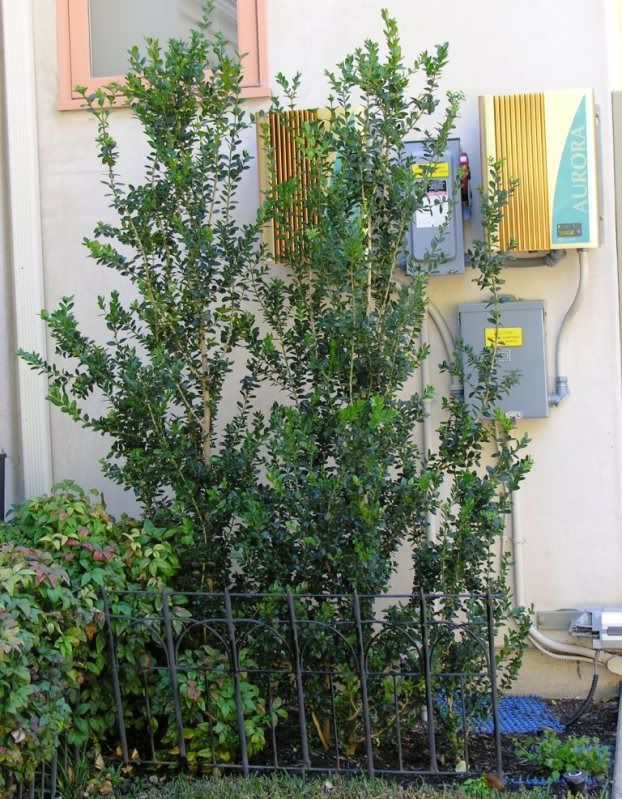 Narrow screening plants for southern california part 2 Tall narrow indoor plants