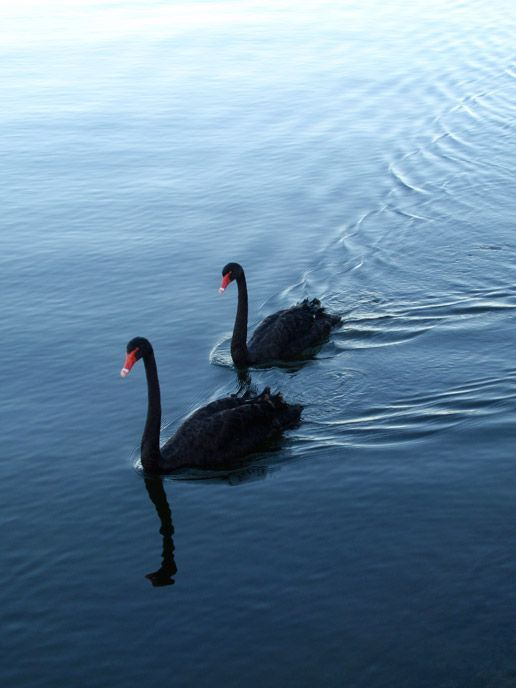 Black Swans on the Swan River. Perth Western Australia.  by Jasmin