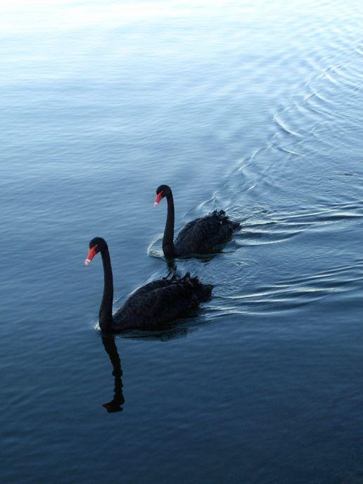 Black Swans on the Swan River. Perth Western Australia.  by Jasmin