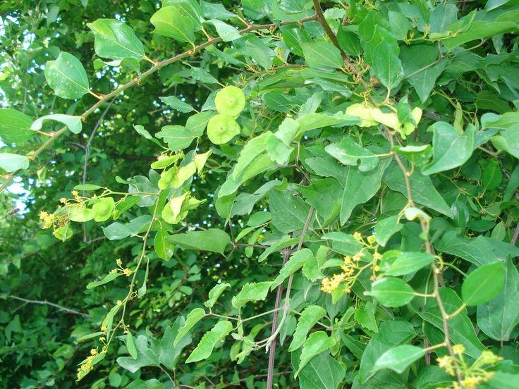 ΤΑ ΕΝ ΟΙΚΟ....: Βότανα του Βερμίου: 53. Παλιούρι