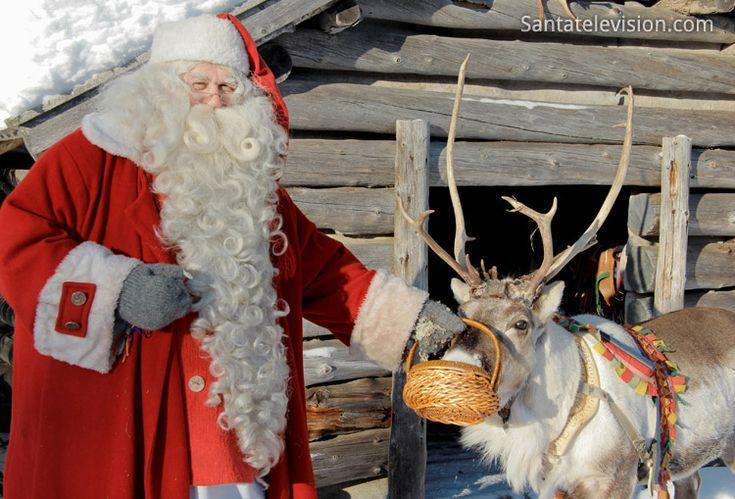 Santa's Reindeer alias Father Christmas feeding his reindeer in Lapland