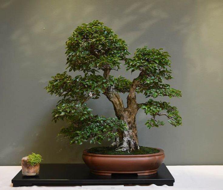 pin von karin auf bonsai pinterest. Black Bedroom Furniture Sets. Home Design Ideas