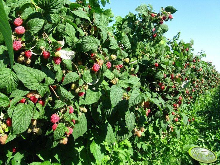 Maliny Glen Ample  #maliny #smacznie #zdrowie #owoce