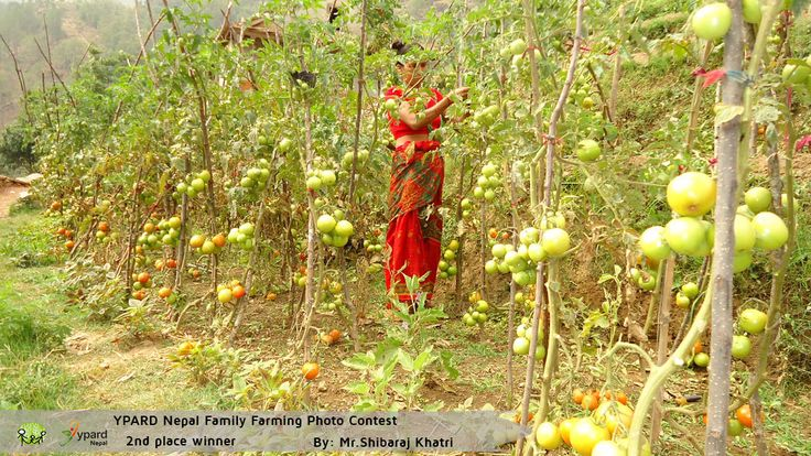 "Second Winning picture of the YPARD Nepal Family Farming Photo Contest: ""Tomato Harvesting""   http://www.ypard.net/news/announcing-winners-ypard-nepal-family-farming-photo-contest"