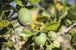 Types of Guava Trees   eHow
