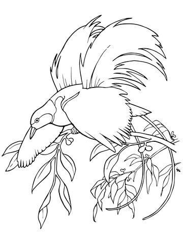 Ave del paraíso mayor Dibujo para colorear | pájaros y aves ...