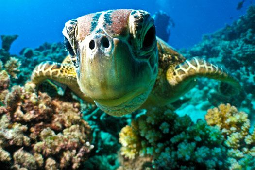 Meet the locals when you dive the Great Barrier Reef. Photo by Marc Füeg. #SOSreef http://www.wwf.org.uk/how_you_can_help/campaign_with_us/great_barrier_reef/?utm_source=pinterest&utm_medium=social&utm_campaign=wearitwild&pc=ANZ008010