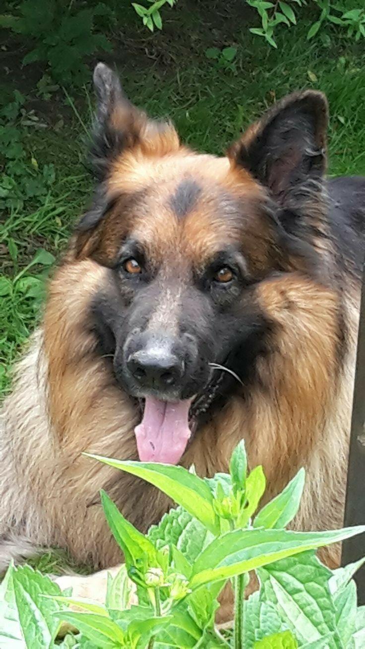 Pin Von Anna Dambmann Auf Schaferhunde Hunde Schaferhunde