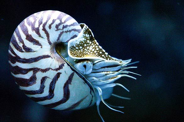 the nautilus swims backwards!!