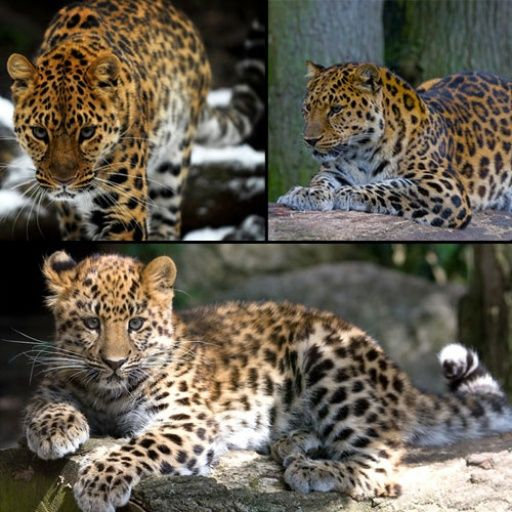 Amur Leopard Panthera pardus orientalis one of the top 10 most endangered species Less than 30 remain and at extreme risk. Used to be throughout Asian rainforests.