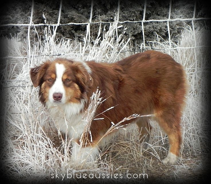 Faith - Red Tri Australian Shepherd - see our website for more pictures of our awesome aussies!
