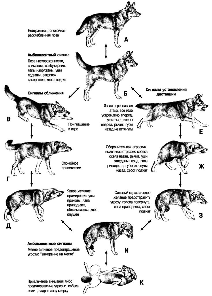 Мимика собак.Язык тела собаки - как понять собаку (картинки)