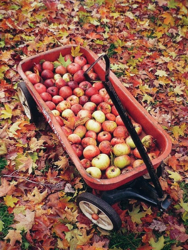 Bring your Little Red Wagon with you on your next apple picking excursion