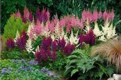 Astilbes. Gorgeous in shade garden. Astilbes blanches à déplacer; photo inspirante.