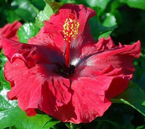Sassy Girl hibiscus - Big Bad Flower