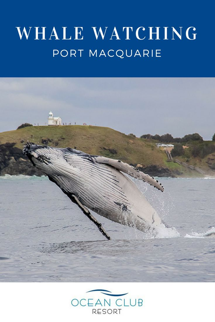 Port Macquarie is one of the best places to see humpback whales on the NSW North Coast. Join a cruise to see the marine mammals up close or spot whales from spectacular headlands.      |  #atOCR #OceanClubNSW #OceanClubResort #PortMacquarie #Retirement #RetiredLiving #MidNorthCoast #Australia #LowMaintenance #Luxury #Affordable #Over50 #GatedCommunity #Seachange #Downsize #Property #RetirementLiving #CommunityLiving #ResortLiving #Whales #HumpbackWhale #WhaleWatching