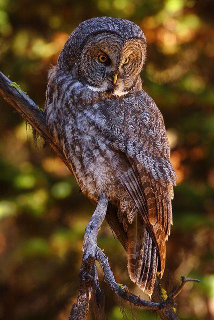 Great Gray Owl | Flickr - Fotosharing!