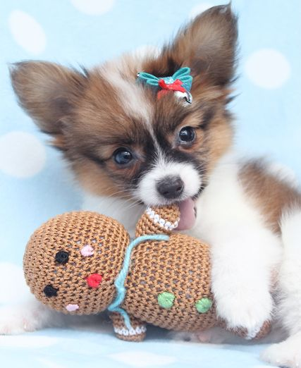beautiful papillon puppy in a tea cup
