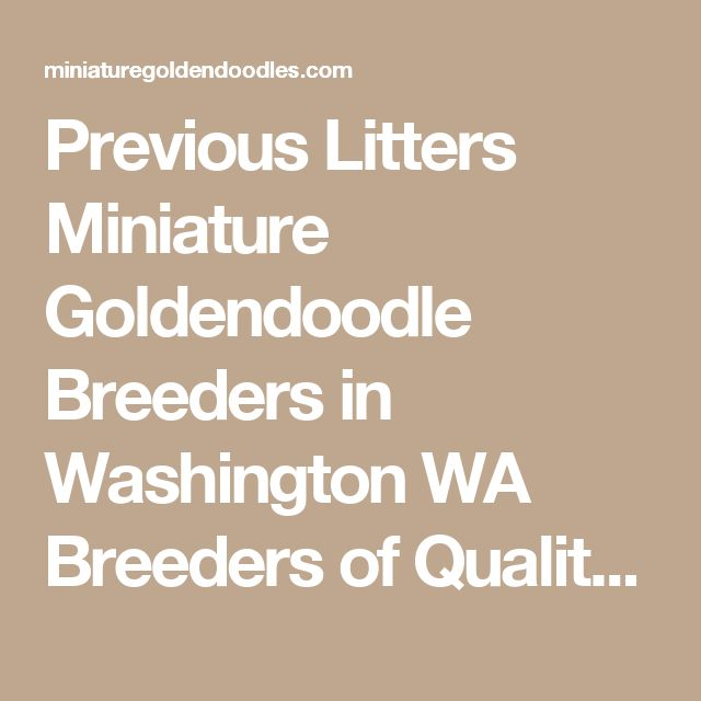 Previous Litters Miniature Goldendoodle Breeders in Washington WA Breeders of Quality Miniature Goldendoodles