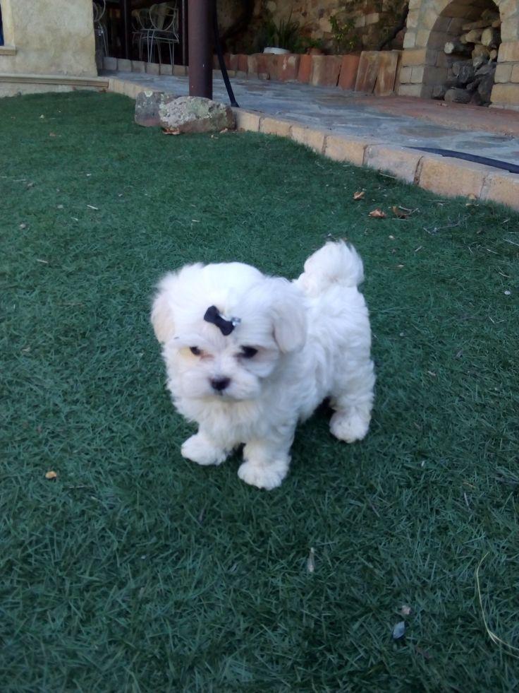 Cachorros de Bichón Maltés Línea Coreana 100%. Nacidos el 12 de Mayo de 2017. For Sale