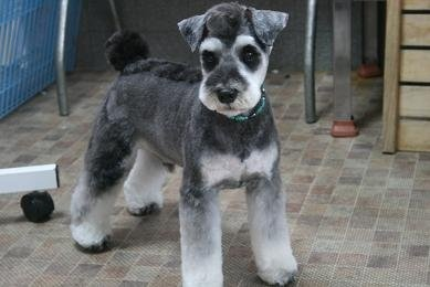 Japanese Style Schnauzer Grooming Dogs Pinterest Dog