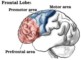 landmarks: primary motor cortex (precentral gyrus), premotor cortex (including Broca's area in LH), prefrontal cortex