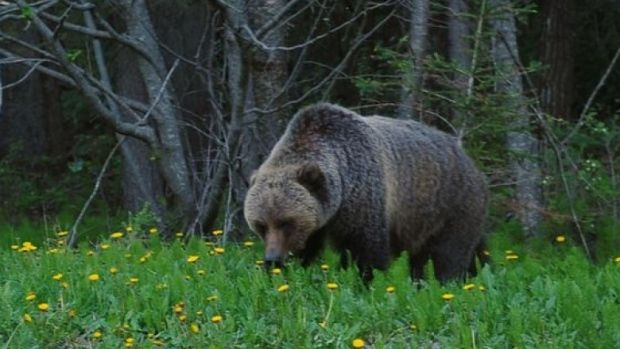 Grizzly near Prince George BC photo by Kim Reynolds