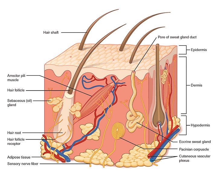 1f8f65e099844c4c22dcaafed0594602 skin structure hair follicles skin diagram images google search layers of the skin skin