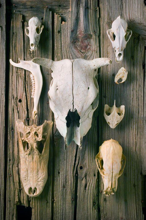 various animal skulls