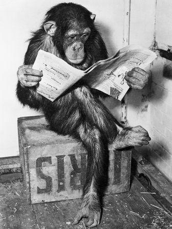 Chimpanzee reading newspaper kkkk não basta ser irmão do homem tem que saber ler kkkk