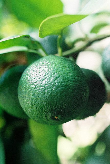 Kabosu is a juicy green citrus fruit close related to the yuzu with the sharpness of lemon, used instead of vinegar in some Japanese dishes.