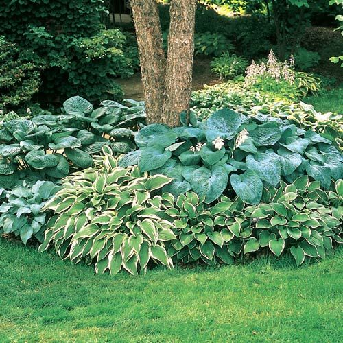 Hostas to surround the large tree in the front of the house.