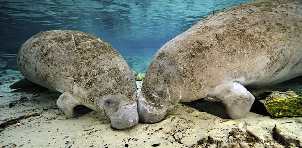 manatees manatee and warm water An adult manatee may weigh 1,000 pounds or more as weather cools, florida manatees move to warmer such as seagrass beds and warm-water sites.