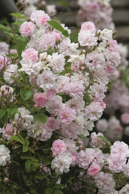 Pruning roses will help create beautiful rose displays – this guide to pruning roses will make pruning your roses simple.