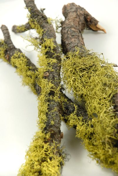 "Moss and Wolf Lichen Branches 17""-19""  long $4 each / 3 for $3 each"