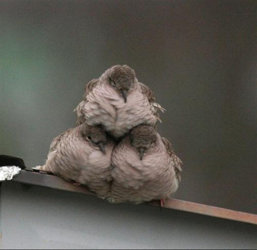 ぬこ部 - Who knew birds did cheer leading formations?