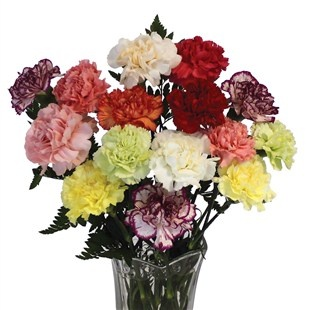 Mixed Carnations - a fantastic gift whatever the occasion