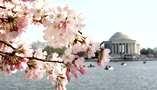 Arlington, VA to see cherry blossoms (again)