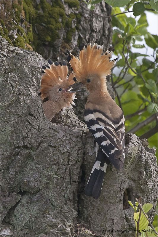 Hoopoe, Upupa epops, is a colourful bird that is found across Afro-Eurasia.