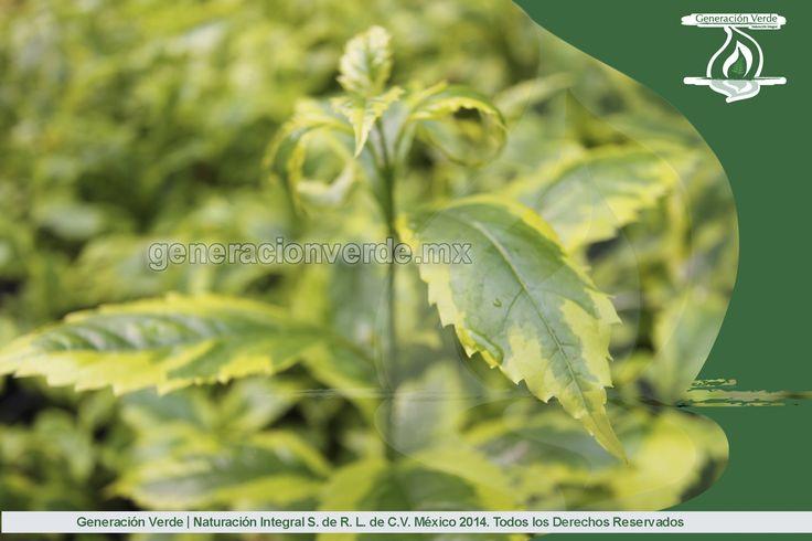 Duranta, presenta dos tonalidades de verde, ideal para espacios abiertos