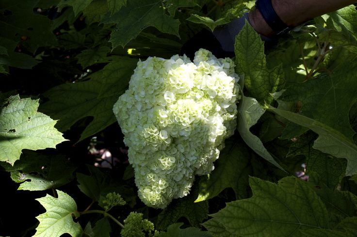 Ortensia Quercifolia Paniculata. Orto Giardino di Barbanera. #Spello #Umbria.