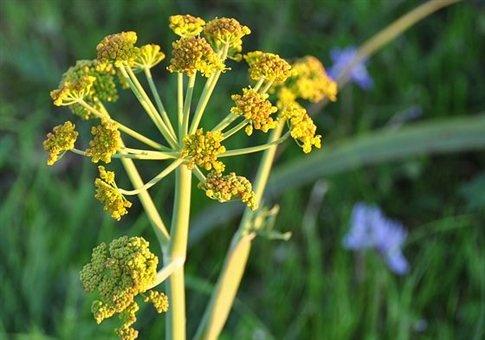 Thapsia garganica! Greek herb for Cancer.
