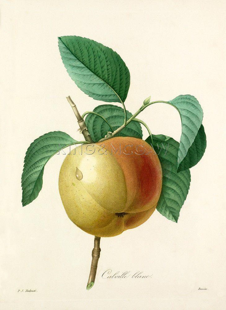 Calville blanc Art Print by Pierre Joseph Celestin Redouté at King & McGaw   Pierre-Joseph Redouté #botanical #illustration #vintage #print