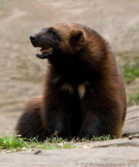 Wolverine (Gulo gulo). Photo by D J England.