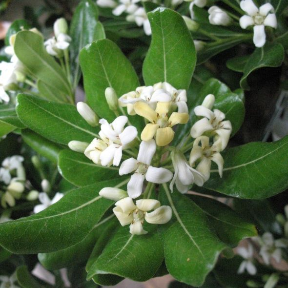 Les 25 meilleures id es de la cat gorie arbre persistant sur pinterest arbuste persistant - Arbuste japonais persistant ...