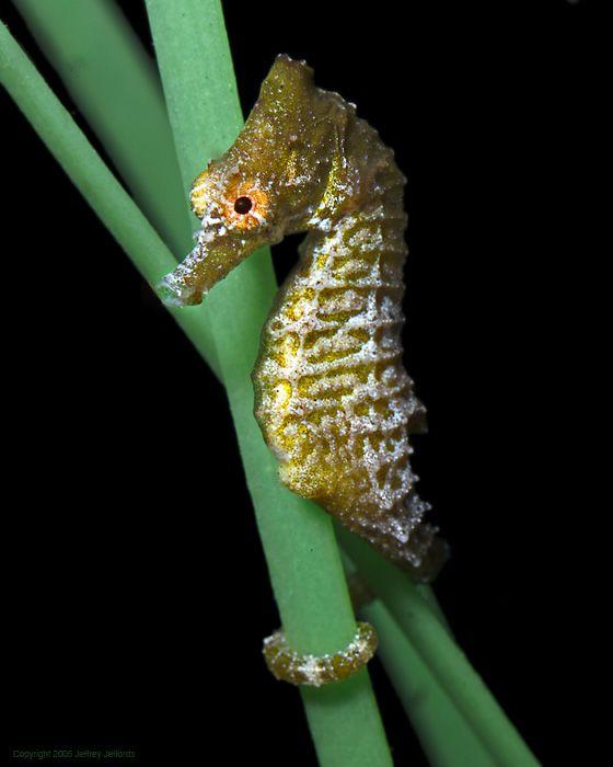 images of seahorses | photo amazing seahorse hippocampus seahorse seahorse facts seahorse ...